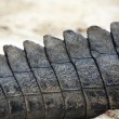 Crocodile tail — Stock Photo