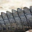 Crocodile tail — Stock Photo #5219427