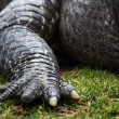 Crocodile claw — Stock Photo