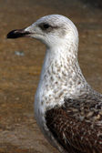 Side profile of a juvenile Yellow-Legged Gull — Stock Photo