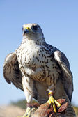 Falcon on trainer's glove — Stock Photo