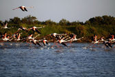 Many flamingos taking off on the water — Stock Photo