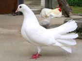 Paloma blanca — Foto de Stock