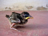 Sparrow chick — Stock Photo
