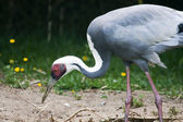 White Naped Crane — Stock Photo