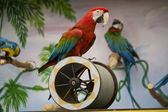 Macaw on a cilinder — Stock Photo