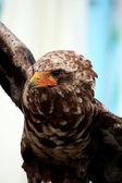 Young bateleur eagle — Stock Photo