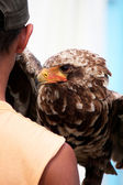 Young bateleur eagle — Stock Photo