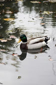 Mallard duck — Stock Photo