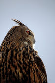 Rock Eagle-Owl — Stock fotografie