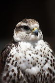 Saker falcon — Stock Photo