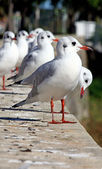 Flock of Seagulls — Stock Photo