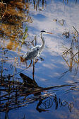 European Grey Heron — Stock Photo
