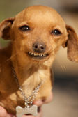 Dog with weird smile — Stock Photo