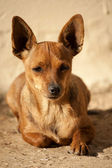 Head of puppy — Stock Photo