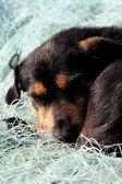 Cane che dorme — Foto Stock