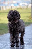 Black domestic dog — Stock Photo