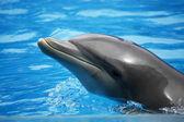 Dolphin head — Stock Photo