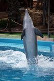 Dolphin's dance — Stock Photo