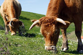 Cows eating the grass — Stock Photo