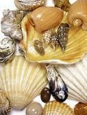 Several sea shells on white — Stock Photo