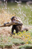 Black-capped Capuchin — Stock Photo