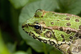 Common water frog — Stock Photo