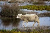 Sheep running — Foto Stock