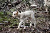 Babyborn овцы — Стоковое фото