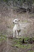 Молодые овцы — Стоковое фото