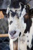 Head of goat — Stock Photo