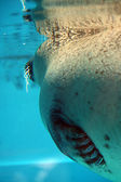 Diving seal — Stock Photo