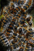 Tent-caterpillars — Stock Photo