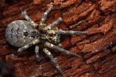 Wolf-spider — Stok fotoğraf