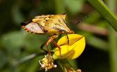 Carpocoris mediterraneus — Стоковое фото