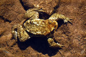 Toad on the bottom of the river — Stock Photo