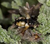 Tachinid mosca — Foto Stock