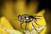 Flesh-fly — Стоковое фото