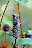 Grasshoper an der pflanze — Stockfoto