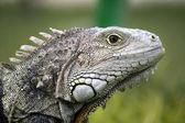 Iguana head — Stock Photo