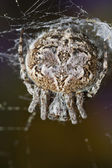 Spider macro — Stock Photo