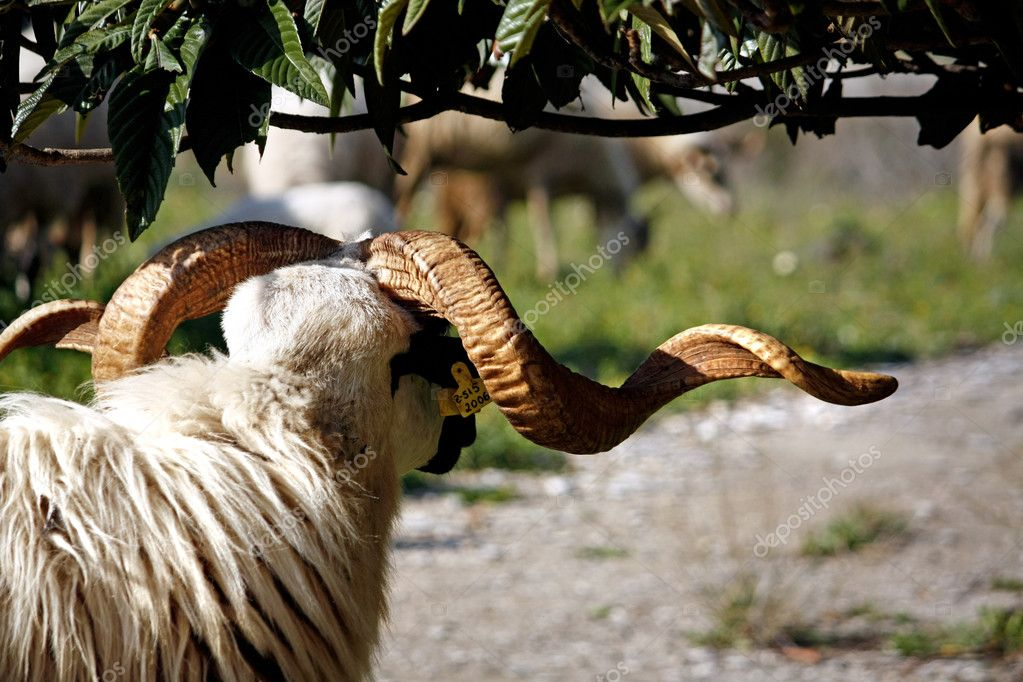 View behind a ram at the shade of a tree looking at other sheep.  Stock Photo #5216769