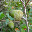 Quercus Coccifera acorns — Stock Photo