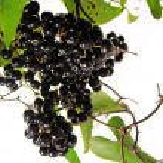 Black briony — Stock Photo #5235846
