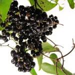 Black briony — Stock Photo