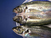 Three mackerel fish — Stock Photo