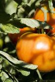 Tomato plantation — Stock Photo