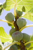 Many figs on the tree — Stock Photo