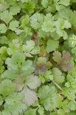 Cultivar of parsley — Stock Photo