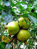 Trio z granátového jablka — Stock fotografie